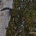 Silver Birch by Brian Boyle