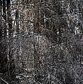 Silver Cedar by Joseph Yarbrough