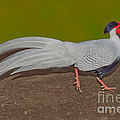 Silver Pheasant In Strutting Pose by Anthony Mercieca
