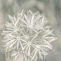 Silver Puff by Susan Eileen Evans