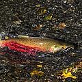Silver Salmon Spawning by Doug Lloyd