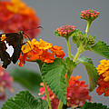 Silver-spotted Skipper Butterfly On Lantana Blossoms by Kathy Clark