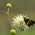 Silver-spotted Skipper On Buttonbush Flower by Kathy Clark
