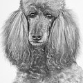 Silver Standard Poodle Drawing by Kate Sumners