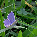 Silver Studded Blue Butterfly by Tony Murtagh