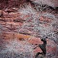 Silver Tree And Red Rocks by Karen Saunders