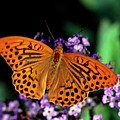 Silver Washed Fritillary Butterfly by Chris Martin Bahr/science Photo Library