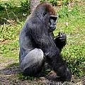 Silverback Gorilla by Carol  Bradley