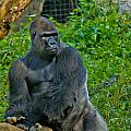 Silverback Gorilla  by Jonny D