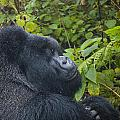 Silverback Up Close by Paul Weaver