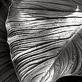 Silvertone Leaf by CK Caldwell