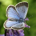 Silvery Blue Butterfly by Doris Potter