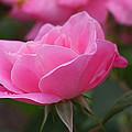 Simplicity Floribunda Rose by Allen Beatty