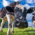 Simply Cows by Scott Thorp