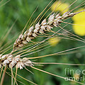 Simply Dried Grass by Smilin Eyes  Treasures