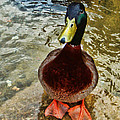 Simply Ducky by Kelley Freel-Ebner