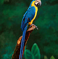 Singapore Macaw At Jurong Bird Park  by Anonymous