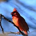 Singing Cardinal by Maria Urso