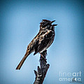Singing Song Sparrow by Ronald Grogan