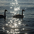 Singing Trumpeter Swans Duet  by Georgia Mizuleva