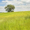 Single Apple Tree In Maine Hay Field by Keith Webber Jr