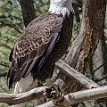 Single Bald Eagle by Lou Cardinale