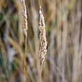 Single Blade Of Tall Field Grass by Joshua Rainey