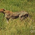 Single Cheetah Running Through The Grass by Deborah Benbrook