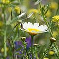 Single Daisy In A Field by Jill Mitchell