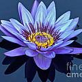 Single Lavender Water Lily by Byron Varvarigos