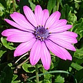 Single Pink African Daisy Against Green Foliage by Tracey Harrington-Simpson
