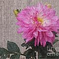 Single Pink Dahlia by Charles Robinson