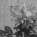 Single Pink Dahlia Monochrome by Charles Robinson