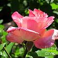 Single Pink Rose by Lena Photo Art