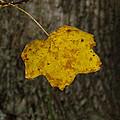 Single Poplar Leaf by Nick Kirby