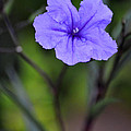 Single Purple Mexican Petunia Ruellia Brittoniana by Sally Rockefeller