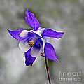 Single Purple White And Gold Columbine Flower And Stormy Sky by Byron Varvarigos