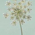Single Queen Anne's Lace by Lucid Mood