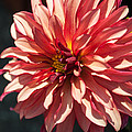Single Red Bloom by Jill Mitchell