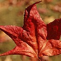 Single Red Maple Leaf by Linda Brody