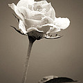 Single Rose by Jackie Farnsworth