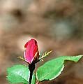 Single Rosebud Abstract by Karen Majkrzak