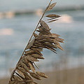 Single Strand Beachgrass by Daralyn Spivey