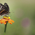 Single Swallowtail Palamedes Butterfly by Jo Ann Tomaselli