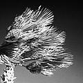 single top of Palm Tree blowing in a very strong wind against a blue sky Tenerife Canary Islands Spain by Joe Fox