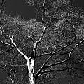 Single Tree With New Spring Leaves In Black And White by Randall Nyhof