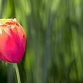 Single Tulip Flower On Green Background by Jit Lim