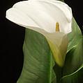 Single White Calla by Harold Rau
