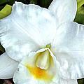 Single White Cattleya Orchid by Elaine Plesser