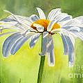 Single White Daisy Blossom by Sharon Freeman